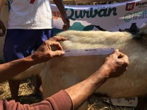 Penyembelihan sapi qurban di Pesantren Darush Sholihin.